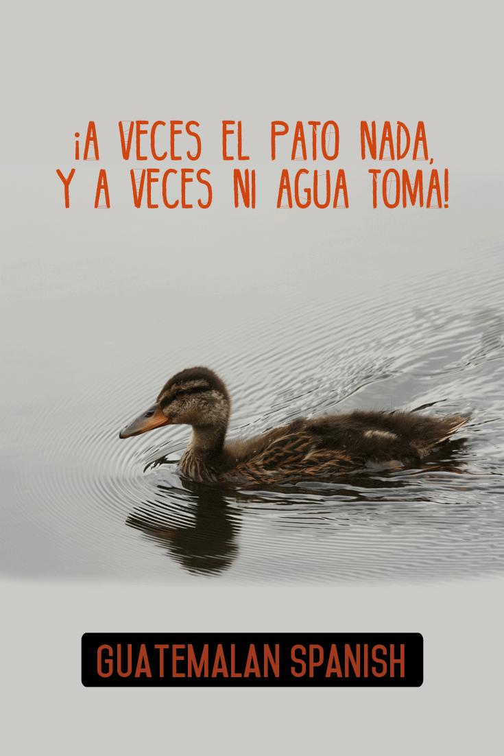 Guatemalan sayings: A veces el pato nada, y a veces ni agua toma.